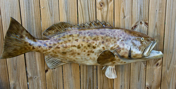 Grouper, 50 inch Gag Full mount fiberglass fish replica