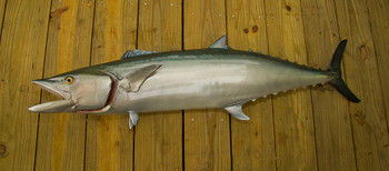 King Mackerel fish mount