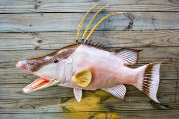 Hogfish or Hog Snapper fiberglass fish replica