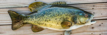 Smallmouth Bass fiberglass fish replica