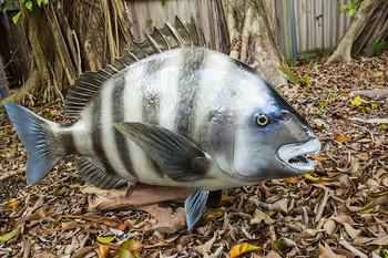 Sheephead fiberglass fish mount