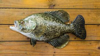 Crappie, speckled perch, speck fiberglass fish replica