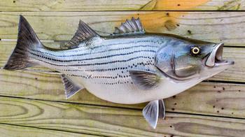 Hybrid Striped Bass fiberglass fish replica