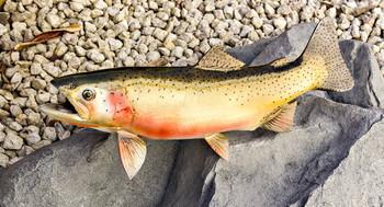 Cutthroat Trout fiberglass fish replica