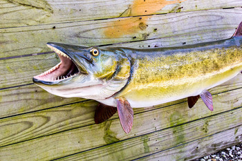 Muskellunge fiberglass fish replica