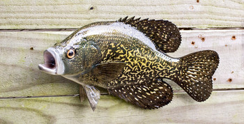 Crappie, Speck, Speckled Perch fiberglass fish replica