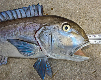Blueline Tilefish fiberglass fish replica