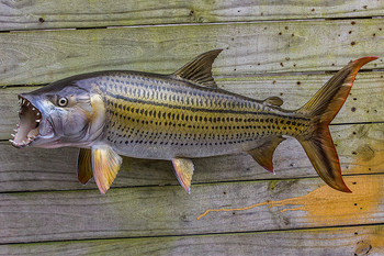 Tigerfish fiberglass fish replica