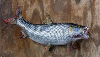 Tigerfish fiberglass fish replica