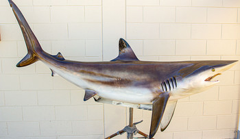 Blacktip Shark fiberglass fish replica