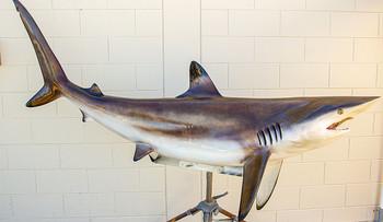 Blacktip Shark fiberglass fish replica