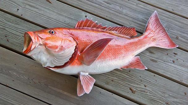 Red Snapper 34L inch Full Mount Fiberglass Fish Replica