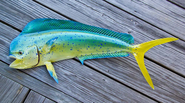 Mahi Mahi 34L inch half mount fiberglass fish replica