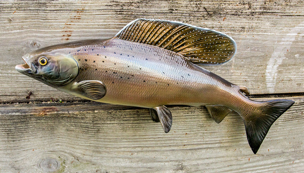 Arctic Grayling fiberglass fish replica