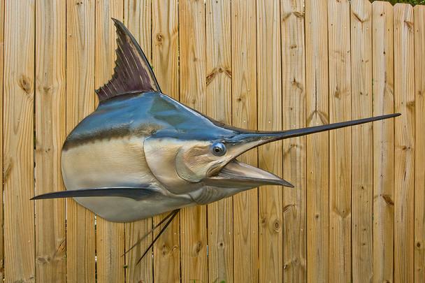 Black marlin shoulder mount