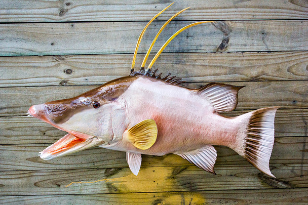 Hogfish or Hog Snapper fiberglass fish replica