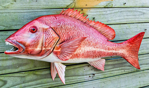 Red Snapper fiberglass fish replica