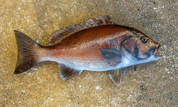 Mangrove Snapper fiberglass fish replica