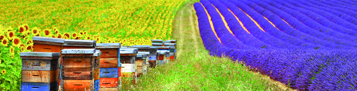 french countryside landscape with sunflowers and lavender