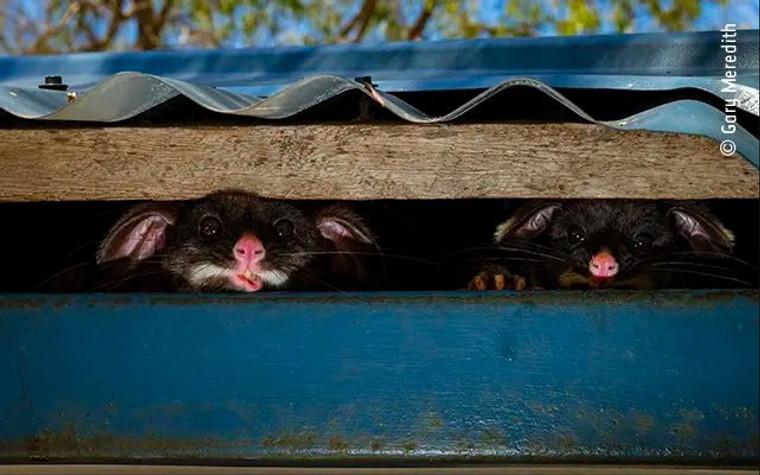 Print - Wildlife Photographer of the Year 2020 - Peeking Possums (6623)