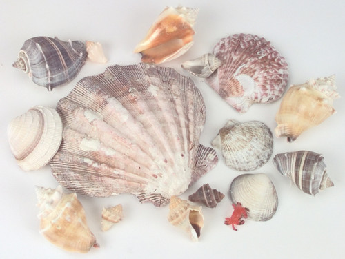 Sea Shells In Lion's Paw Shell 11.2oz-Natural -690605
