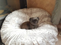"""Beverly is perfectly happy on this huge SNOW LEOPARD Bed.  The 60"""" cover fits a Costco Dog Bed."""