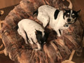 """Here is Marsha's Dogs, Emily & Tasia, at work on their new RED FOX Dog Cover.  This is a 50"""" cover on a 24"""" circle bed."""