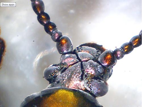Image of Beetle, 40X