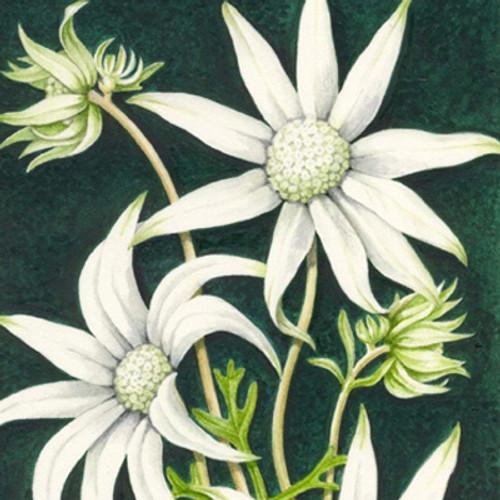 Flannel Flower Greeting Card