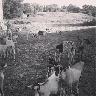Goats, Goats, Goats!