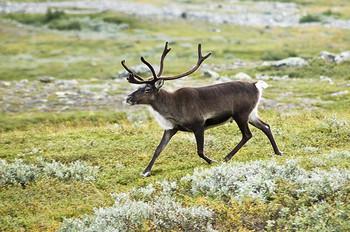 Reindeer Antler slices x 5