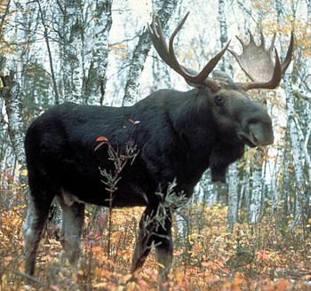 Moose Antler 30 mm