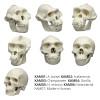 KAM-SET-7 - Set of 7 half scale primate skulls (skulls only)