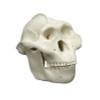 Australopithecus boisei, half scale