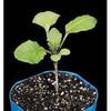 S13.15 - Brassica rapa seeds, purple stem, Hairy