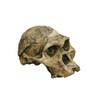 BH007 - Australopithecus africanus, STS 5, 'Mrs Ples'
