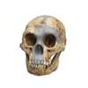 Homo floresiensis (Flores skull LB1)