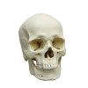 BC107 - Human male European skull