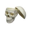Human female European skull, calvarium cut