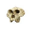 BH003 - Australopithecus robustus, SK-48