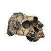 BH006 - Australopithecus boisei, KNM-ER 406