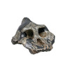 Australopithecus aetheopicus, KNM-WT 17000