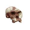 BH010 - Homo habilis, OH 24