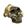 BH015 - Australopithecus boisei, OH 5, 'Nutcracker Man'