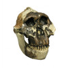 BH015-C - Australopithecus boisei, OH 5, 'Nutcracker Man', with jaw