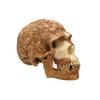 BH032 - Homo sapiens, Skhul 5