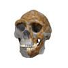 BH038 - Homo erectus, 'Peking Man'