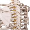 1020178 - Flexible Skeleton Model - Fred