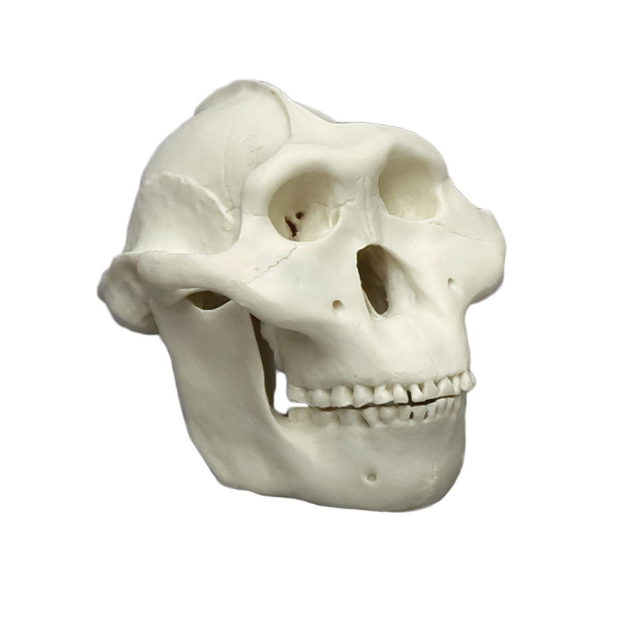 KAM01 - Australopithecus boisei, half scale