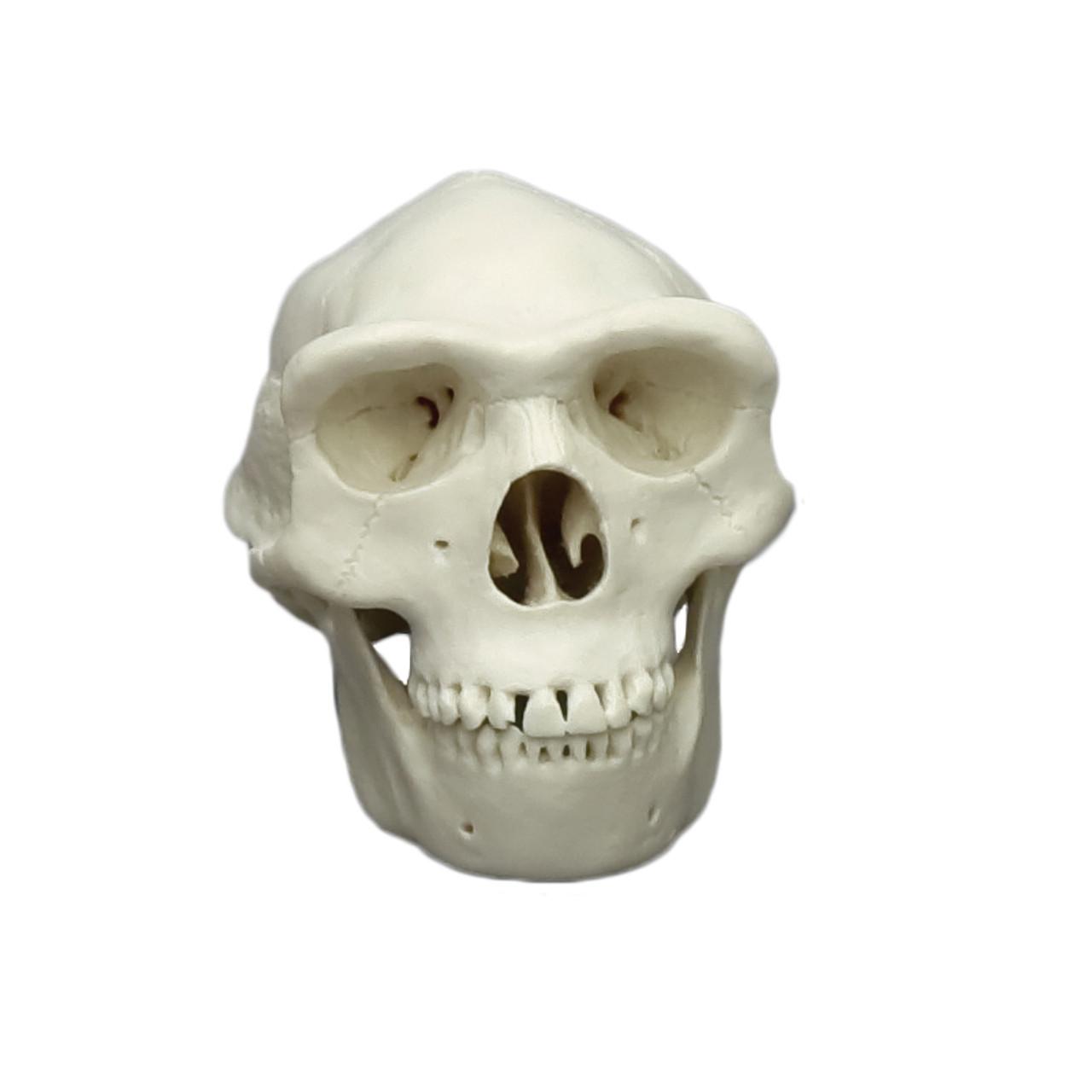Homo erectus, half scale